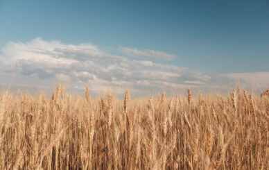 Golden wheat field and sunny day. Close up